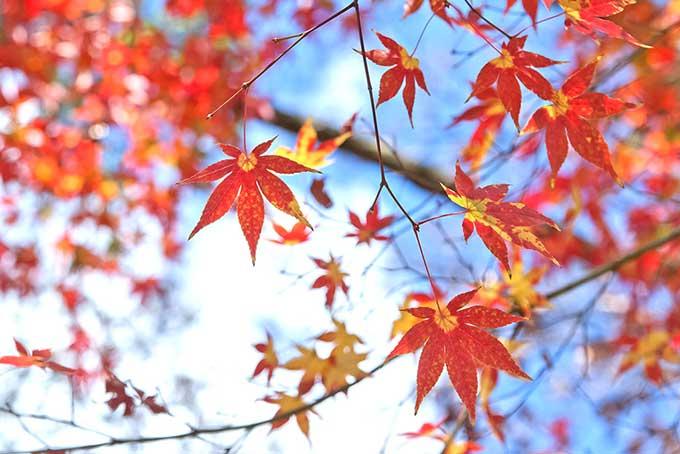 秋の澄んだ空に映える紅葉の画像