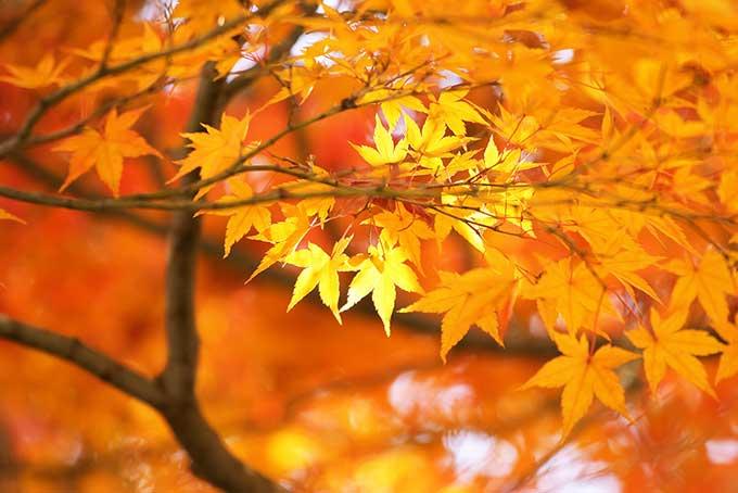 金色に輝く美しい秋の木々の素材(紅葉 フリーの画像)