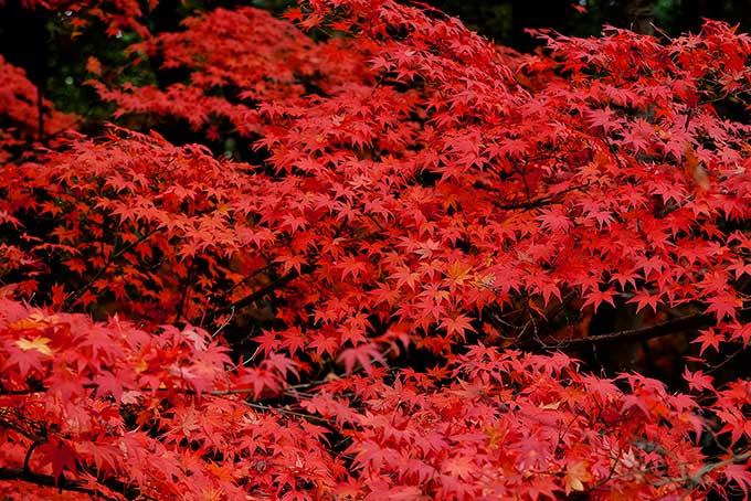 赤と黒の紅葉背景(紅葉 フリーの画像)