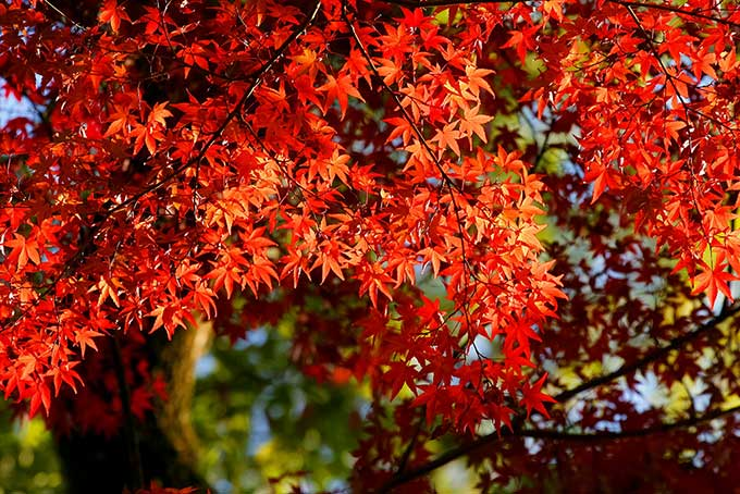 日を浴びる紅葉の木