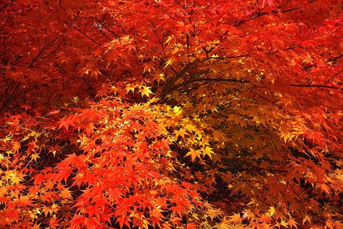 美しい紅葉と黄葉の背景