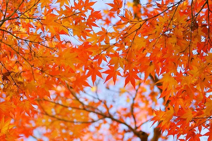 秋空とオレンジ色のもみじ