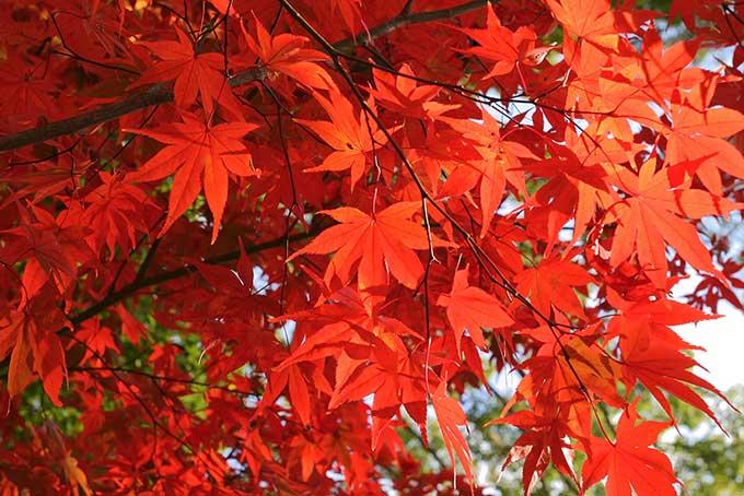 真っ赤に色づく紅葉の写真