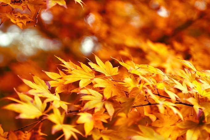 黄色のもみじが飾る初秋の背景(紅葉 フリーの画像)