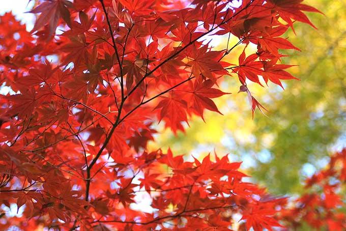 真紅に染まったもみじの葉のテクスチャ