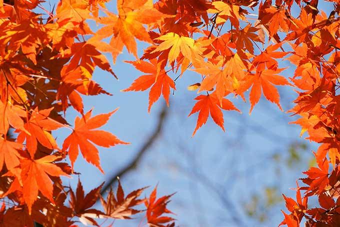 オレンジ色の葉のフレーム素材(紅葉 フリーの画像)