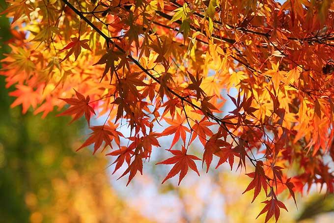 秋の日光に煌めく紅葉