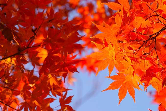 秋の空と橙色のもみじの画像