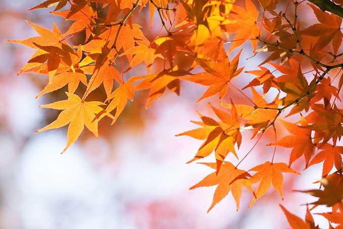 段々と秋色に染まるモミジの葉の写真