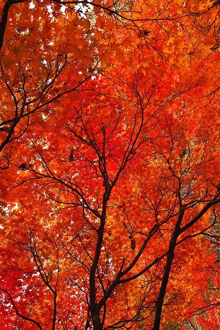 真赤な紅葉の背景