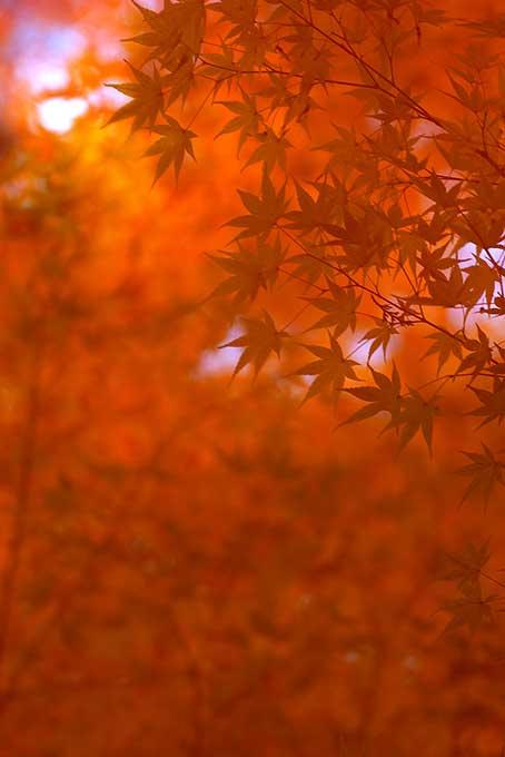 和風の美しい紅葉背景