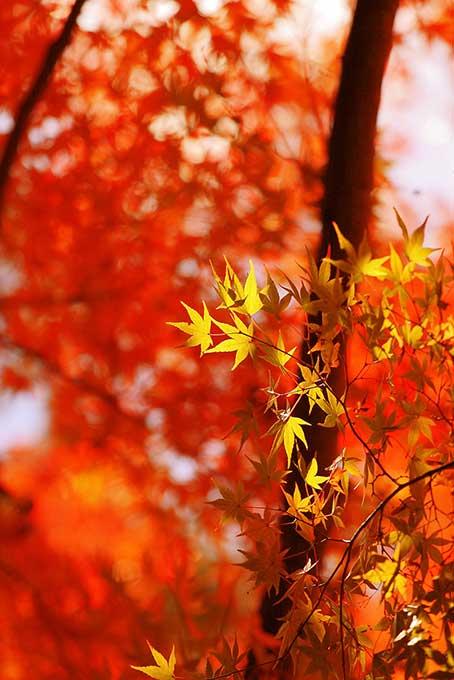 黄葉の後ろの紅葉背景