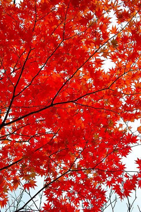 白い空の背景と紅の紅葉