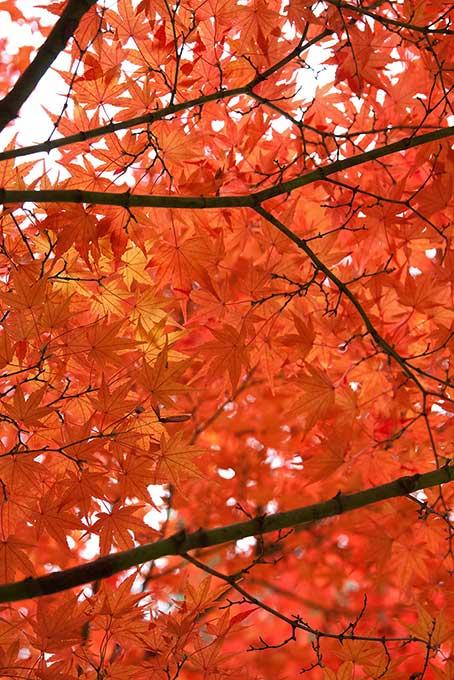 華やかな赤橙色の紅葉
