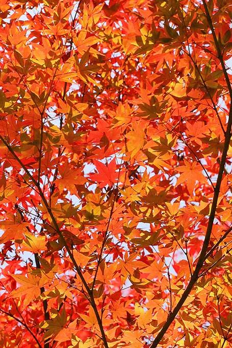 秋色一面の紅葉背景