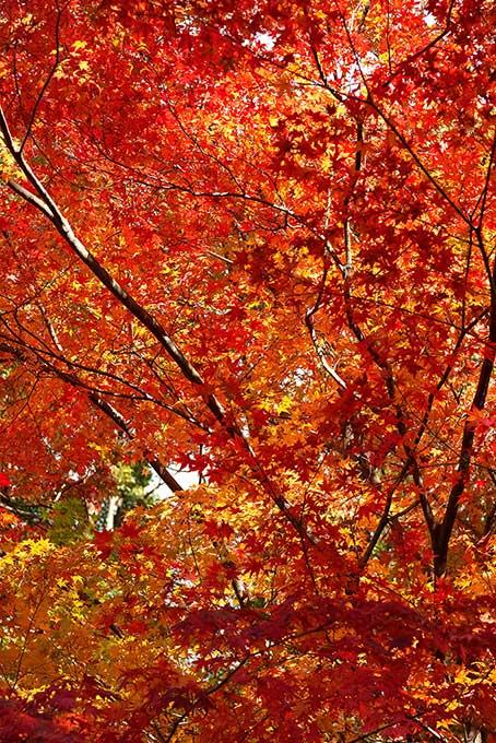 秋の光に輝く紅葉の木