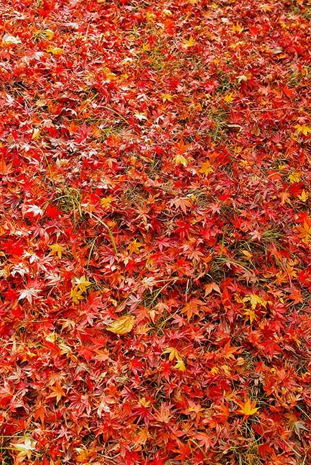 地面一杯の落葉した紅葉