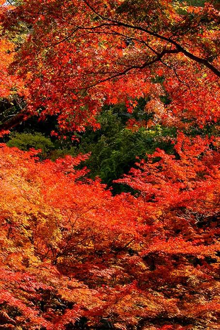 燃えるような錦秋の森