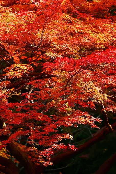 黒背景に紅葉の和風イメージ