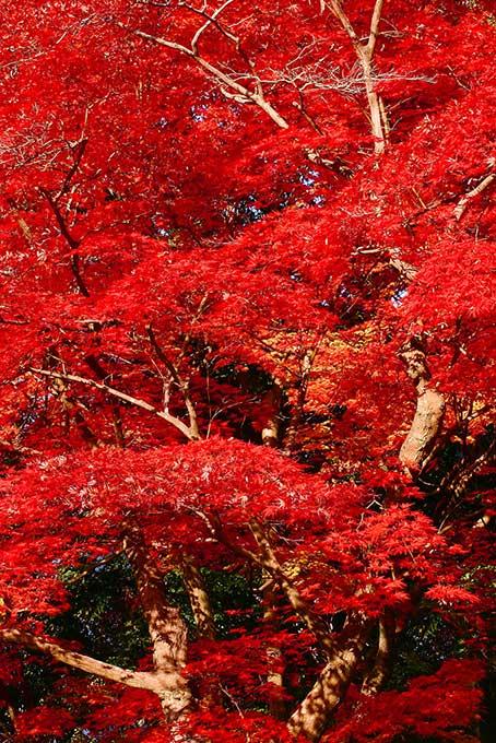 深紅に染まり紅葉する木