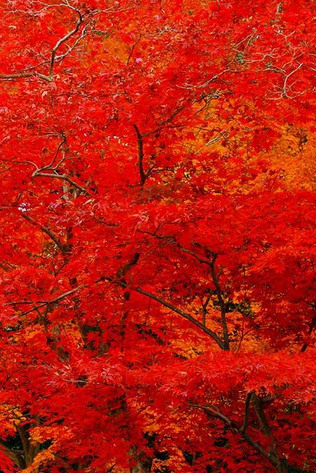 紅に染まった紅葉の背景