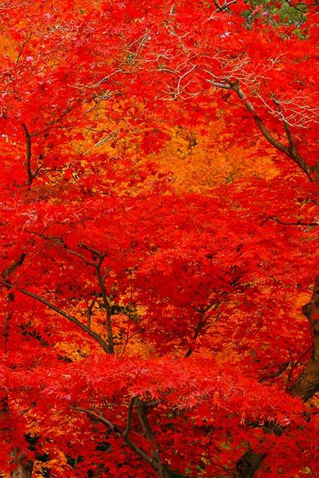 紅葉と黄葉が混ざる木