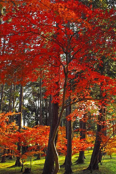 光差し込む紅葉の林