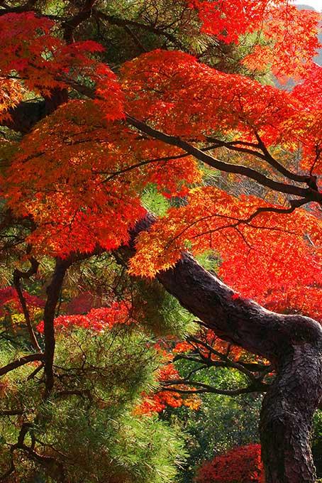 紅葉と松の日本の秋(紅葉 日本のフリー画像)