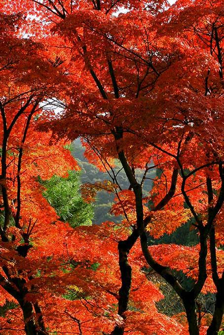 もみじ染まる秋の山(紅葉 日本のフリー画像)