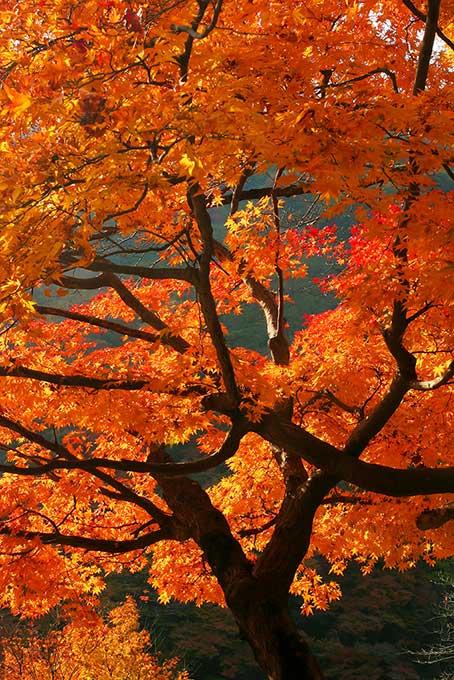 オレンジ色のモミジの木(紅葉 日本のフリー画像)