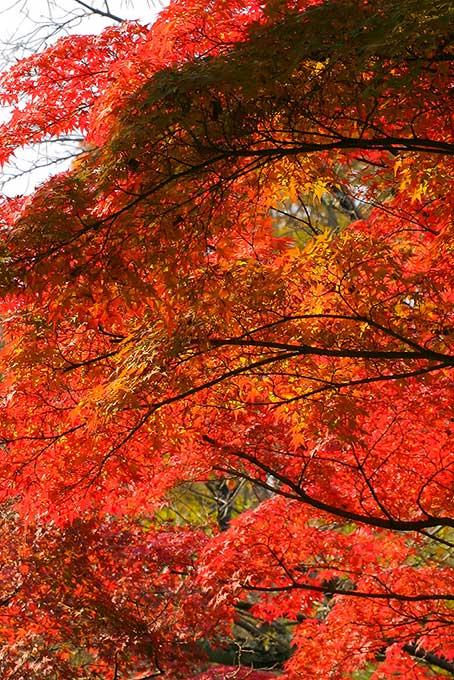 紅葉を沢山付けたもみじの木