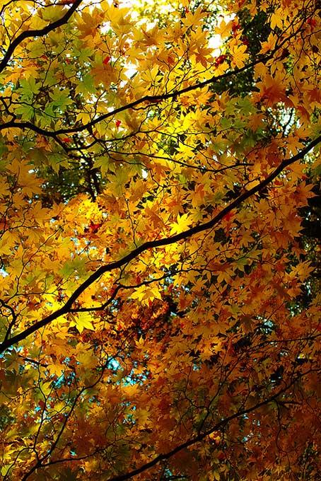 黄葉を照らす初秋の陽射し(紅葉 秋のフリー画像)