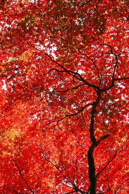 赤く染まる無数のもみじの葉