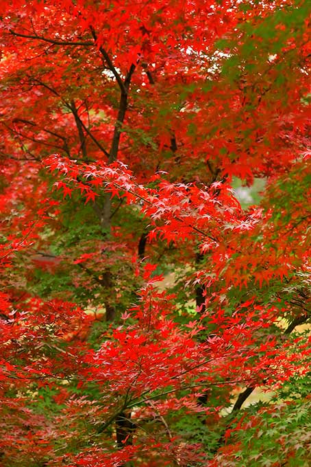 紅葉と青葉のコラボレーション(紅葉 秋のフリー画像)