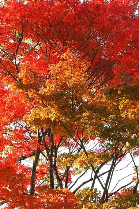 白背景に映える紅葉と黄葉