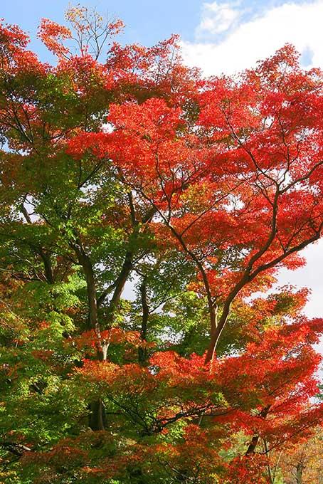 連なる赤黄緑のモミジの木