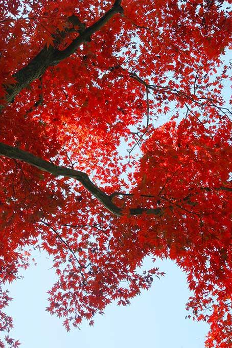 空から降り落ちる様な紅葉