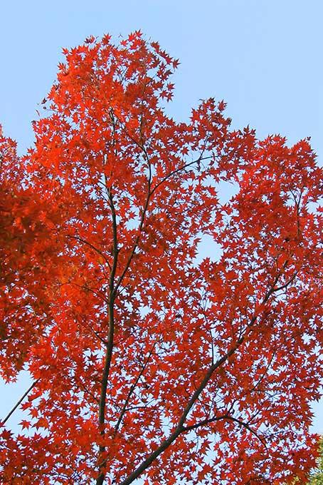 紅葉する木と水色の空