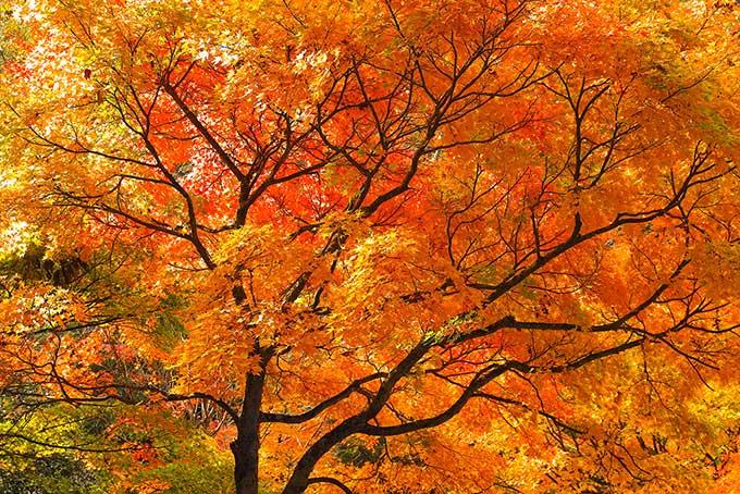 秋のもみじ(紅葉 背景のフリー画像)