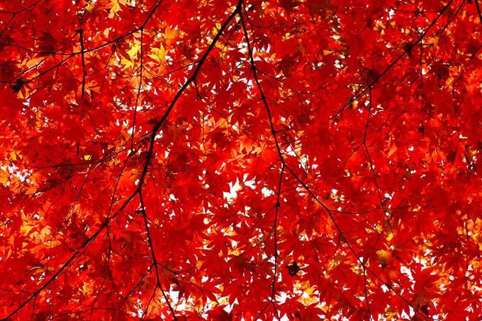 秋のもみじ(紅葉 赤のフリー画像)