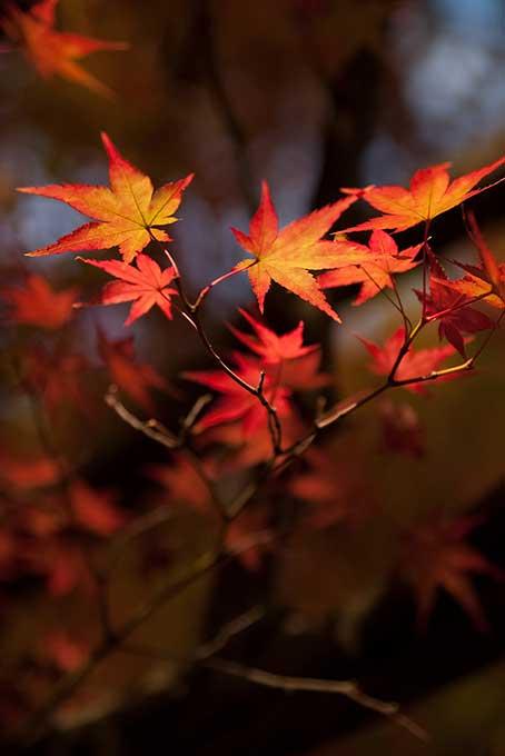 もみじの葉の背景
