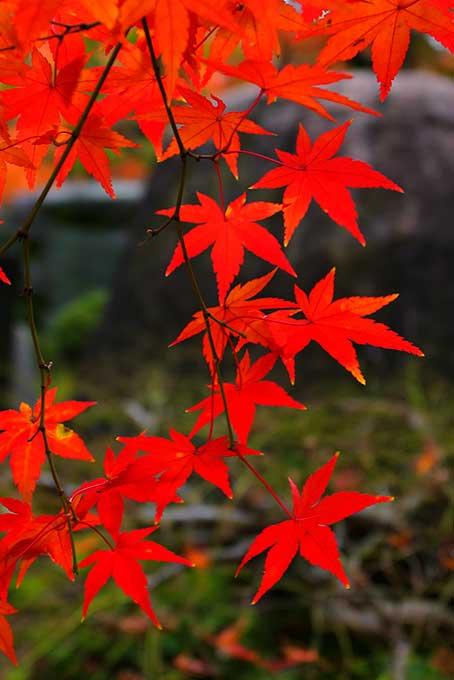 もみじの葉(紅葉 日本のフリー画像)