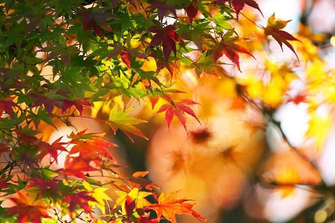 秋色に染まるモミジの葉
