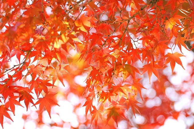 秋色に染まるモミジの葉(紅葉 背景のフリー画像)
