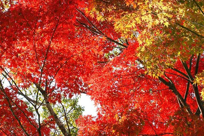 紅葉する木(紅葉 赤のフリー画像)
