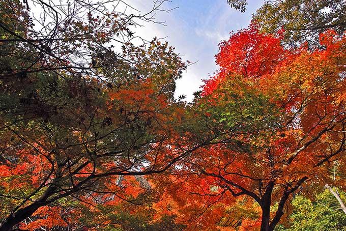 紅葉する木(紅葉 空のフリー画像)