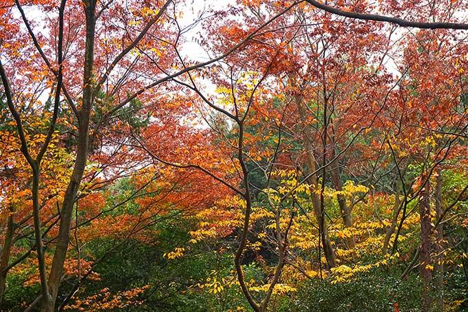 紅葉する木(紅葉 景色のフリー画像)