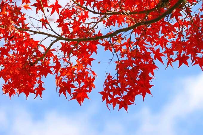 紅葉と黄葉(紅葉 空のフリー画像)