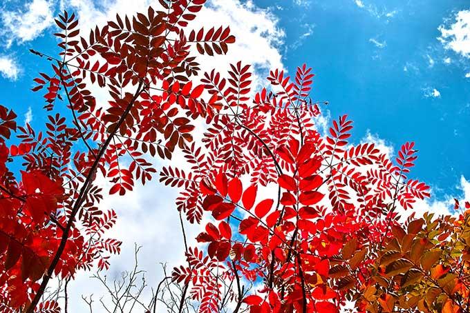 紅葉と空の背景(紅葉 赤のフリー画像)