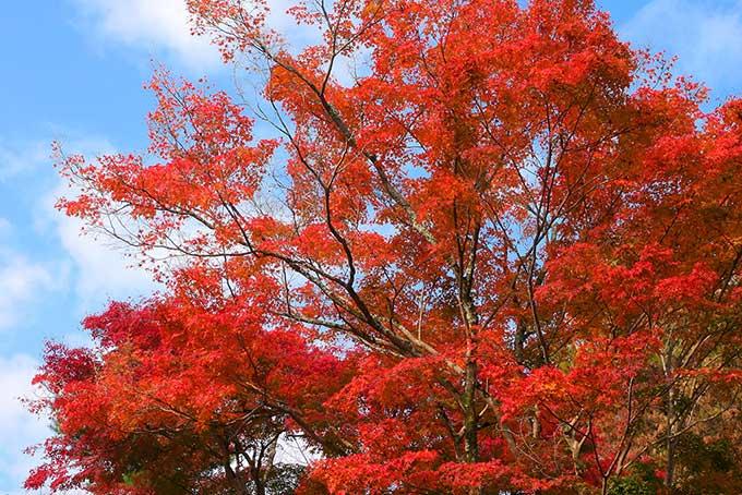 紅葉と空の背景(紅葉 空のフリー画像)